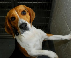 Recovered beagle, Shiloh, sat in his kennel, waiting for adoption.