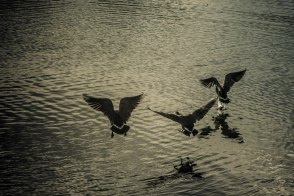 shot these geese as part of my first solo wedding shoot.