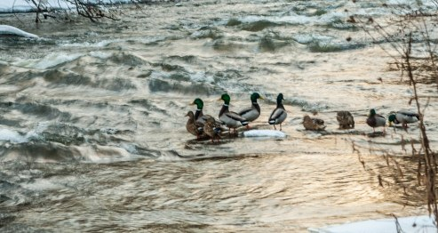 I actually tried to get all artisitc and shoot this at a slow shutter speed to get the motion of the water. The ducks stayed as still as one could hope.