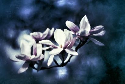 vignette_magnolia_by_lobomalo-d62w5nk_1